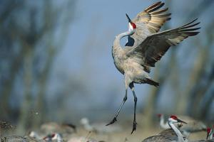 A Sandhill Crane Leaps While Performing a Courtship Dance by Michael Forsberg
