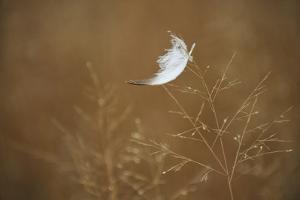 A Snow Goose Feather Resting Lightly on a Delicate Grass Seed Head by Michael Forsberg