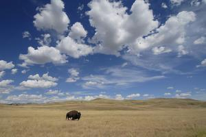 An American Bison, Bison Bison, in a Landscape of Rolling Hills and Puffy Clouds by Michael Forsberg