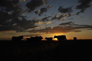 Cattle in a Pasture are Silhouetted by the Sunrise by Michael Forsberg