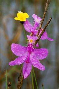 Close Up of a Grass Pink Orchid, Found in Wet Pine Savannah Habitat by Michael Forsberg