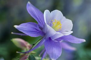 Close Up of a Purple Columbine Flower by Michael Forsberg