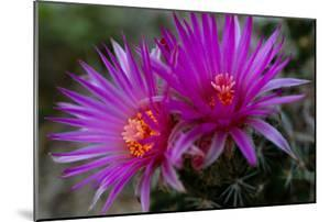 Close Up of a Rose Pincushion Flower by Michael Forsberg