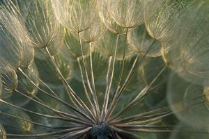 Close Up of Goats Beard by Michael Forsberg