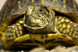Close Up Portrait of an Ornate Box Turtle, Terrapene Ornata by Michael Forsberg