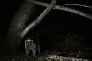 Night Time Portrait of a Raccoon, Procyon Lotor, under a Tree by Michael Forsberg