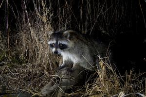 Night Time Portrait of a Raccoon, Procyon Lotor, with Eye Shine by Michael Forsberg