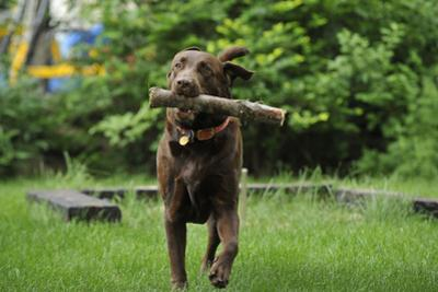 Portrait of a Pet One-Year-Old Chocolate Labrador Retriever Dog, Fetching a Stick by Michael Forsberg