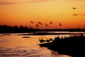 Sandhill Cranes Roost on the Banks of the Platte River by Michael Forsberg