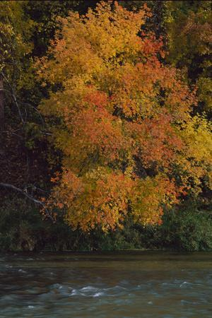 Yellow and Orange Fall Leaves Cover a Tree and Hoover over a River