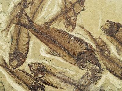 Fossilized Devonian Fish