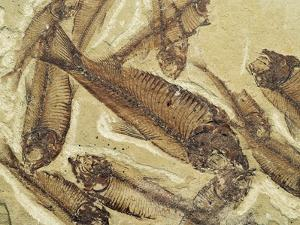 Fossilized Devonian Fish by Michael Freeman