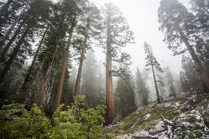 A Landscape Image Of Large Trees In Sequoia National Park, California by Michael Hanson