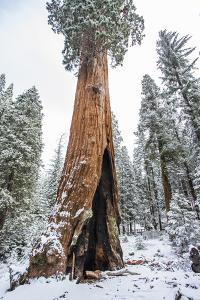 A Light Dusting Of Snow Beneath Large Trees In Sequoia National Park, California by Michael Hanson