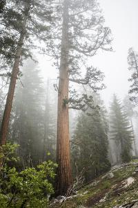 Large Trees In Sequoia National Park, California by Michael Hanson