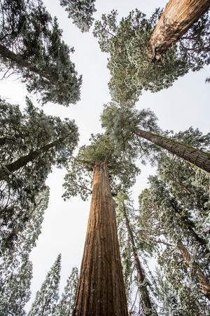 Looking Straight Up Into The Canopy In A Forest Of Sequoias In California