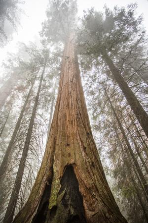 Looking Up From The Base Of A Large Sequoia Tree In Sequoia National Park, California