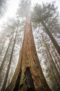 Looking Up From The Base Of A Large Sequoia Tree In Sequoia National Park, California by Michael Hanson