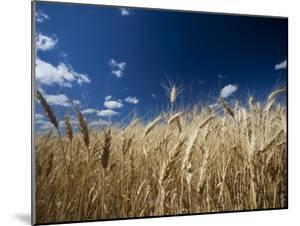 Wheat Grows Throughout Montana Detail of Wheat with Blue Sky Overhead by Michael Hanson