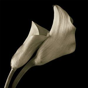 Calla Lilies by Michael Harrison