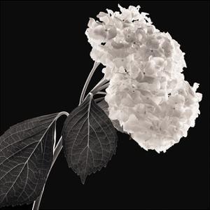 Hydrangea by Michael Harrison