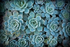 Echeveria III by Michael Hudson
