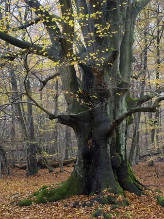 Old beech in the Urwald Sababurg, autumn, Reinhardswald, Hessia, Germany