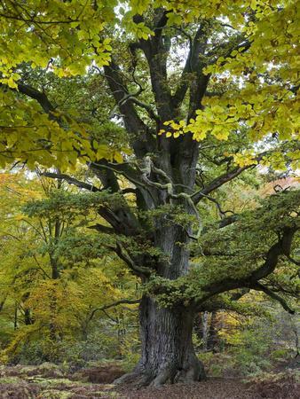 Old oak, Urwald Sababurg, Reinhardswald, Hessia, Germany