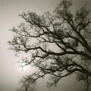 Tree Study II by Michael Kahn