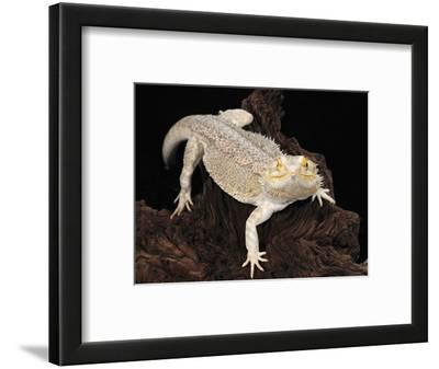 Bearded Dragon (Pogona Vitticeps), Captive