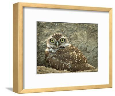 Burrowing Owl (Athene Cunicularia), USA