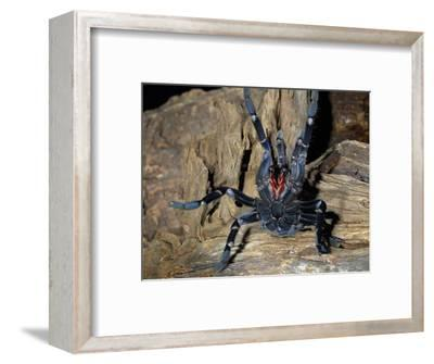 Cobalt Blue Tarantula (Haplopelma Lividum), Captive
