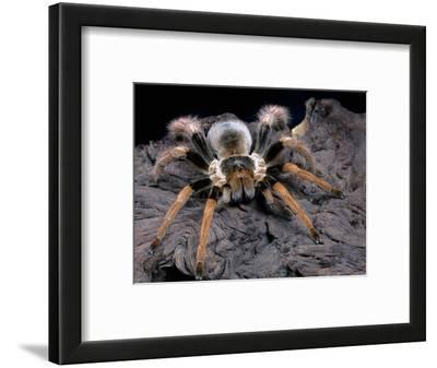 Columbian Giant Tarantula (Megaphobema Robustum), Captive