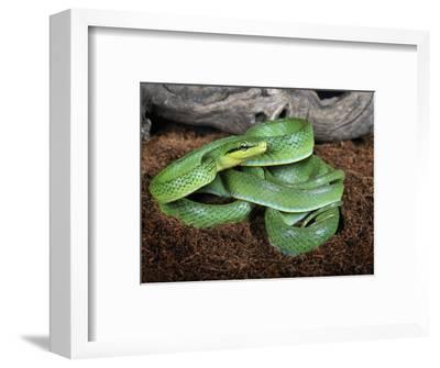 Green Trinket Snake (Elaphe Frenata) Captive