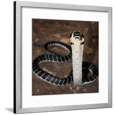 Juvenile King Cobra (Ophiophagus Hannah), Captive