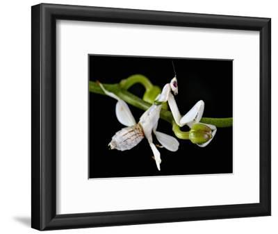 Orchid Mantis (Hymenopus Coronatus), Captive