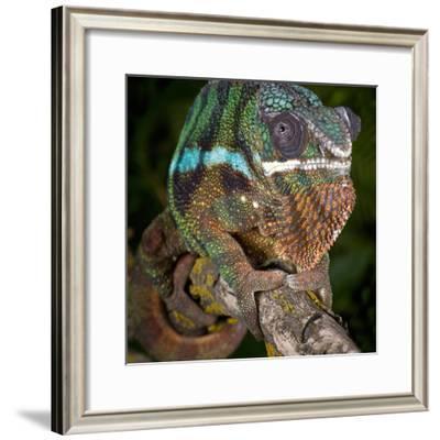 Panther Chameleon (Furcifer Pardalis), Ambanja, Madagascar, Captive