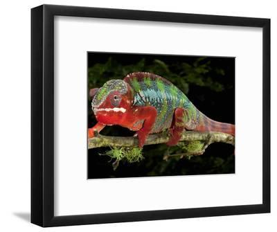 Panther Chameleon (Furcifer Pardalis), Captive