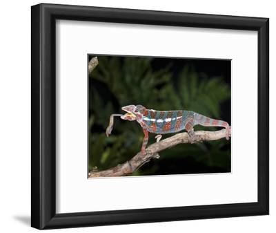 Panther Chameleon (Furcifer Pardalis) Catching Food, Ambilobe, Madagascar, Captive