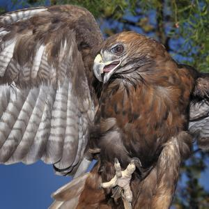 Red-Tailed Hawk (Buteo Jamaicensis), Captive by Michael Kern