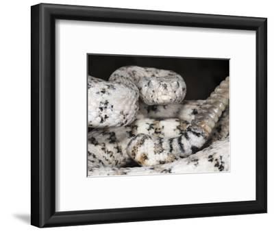 Southwestern Speckled Rattlesnake (Crotalus Mitchellii Pyrrhus), Captive