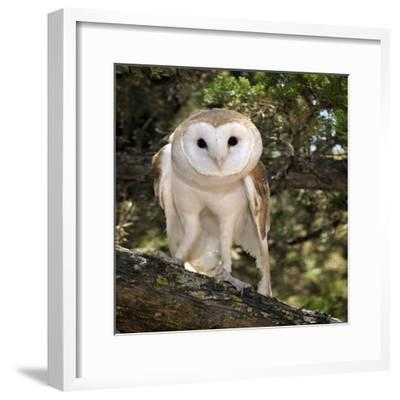 The Common Barn Owl (Tyto Alba) Is One of the Most Wide-Spread of All Land Birds, Captive