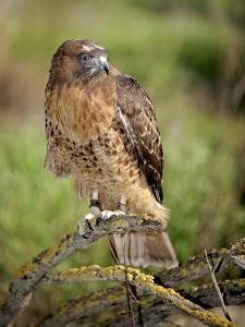 The Red-Tailed Hawk (Buteo Jamaicensis), Captive by Michael Kern