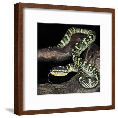 Wagler's Pit Viper (Tropidolaemus Wagleri), Captive