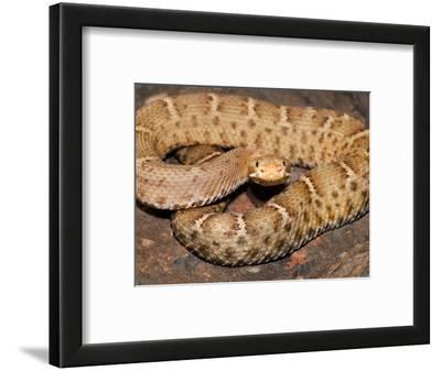 Western Chihuahuan Ridge-Nosed Rattlesnake (Crotalus Willardi Silus), Captive