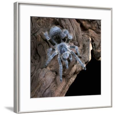White-Collared Tarantula (Eupalaestrus Weijenberghi), Captive