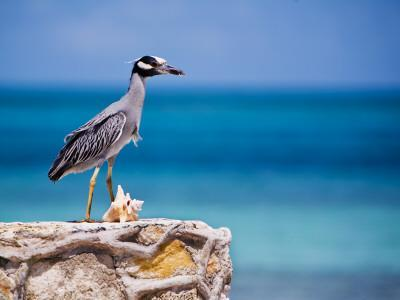 Adult Yellow-Crowned Night-Heron at Barracuda's, Cape Eleuthera