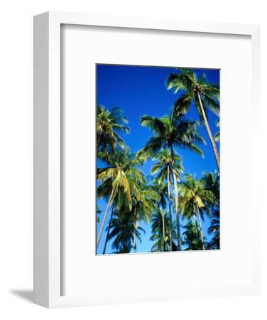 Cluster of Palm Trees, Great Courland Bay, Northwestern Coast, Grafton Beach, Trinidad & Tobago