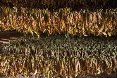 Tobacco Hanging in a Shed to Dry in the Best-Known Growing Region of Cuba, Pinar Del Rio by Michael Lewis