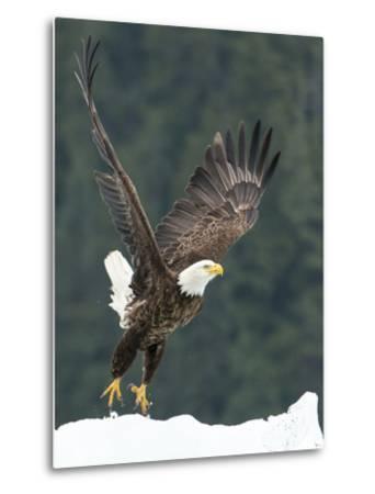 A Bald Eagle Takes Flight Near Petersburg, Inside Passage, Alaska